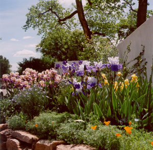 Gorgeous Irises in Albuquerque